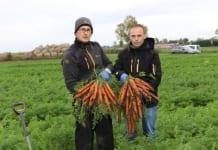 Siedem odmian marchwi na polu