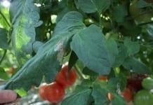 Chmury nad ukraińską produkcją pomidorów