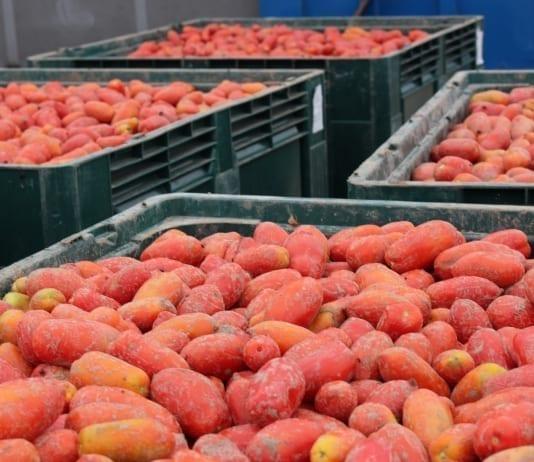 Włoski sezon pomidorowy