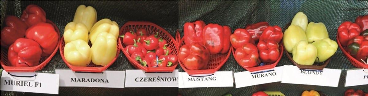 Kilka z odmian prezentowanych na stoisku Mazowieckiego Ośrodka Doradztwa Rolniczego