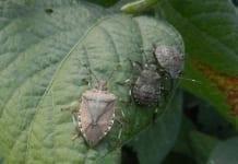 Tarczówka marmurkowata (Halyomorpha halys) jest nowym zagrożeniem dla polskich warzyw