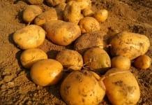 GUS potwierdził niższe zbiory ziemniaków w 2019 r