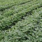 Światowy rynek fasoli szparagowej