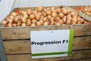 Odmiana_Progression F1_cebula